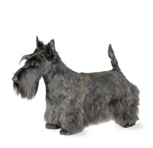 Scottish Terrier (Scottie)
